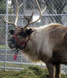 Reindeer_Photo