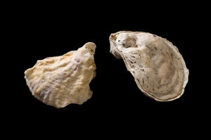 Eastern Oyster Eastern Oyster Crassostrea virginica Bruce Museum Collection Photo by Paul Mutino