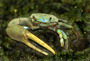Fiddler Crab at the Maritime Aquarium Norwalk