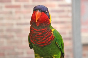 Aquar.lorikeet_smile
