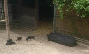 Olivia rests while her 6 piglets frolic in the New England Farmyard.