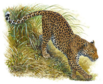 Indochinese_Leopard_web