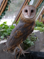 Millie-the-Barn-Owl-150x200