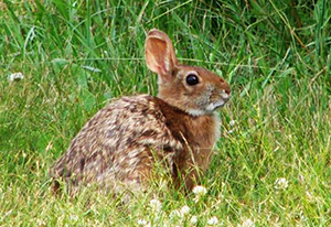 New_England_Cottontail_photo
