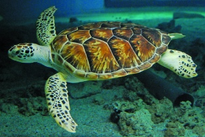 "A green sea turtle ""flies"" through its exhibit in The Maritime Aquarium at Norwalk."