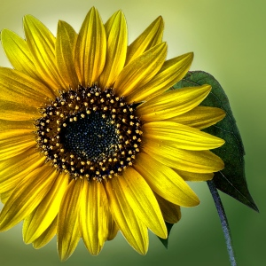 Judy_Secco_Sunflower
