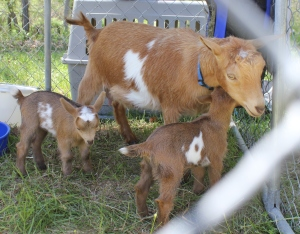 goat_photo
