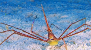 aquar-imax-secret-ocean-arrowcrab