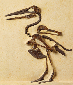 One of the toothed birds from Kansas, Ichthyornis dispar, Cretaceous Period (80 million years ago), that was early evidence of the dinosaur-bird link. Photo credit: Robert Lorenz
