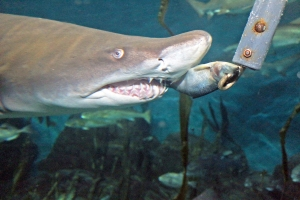 aquar-shark-feeding-5
